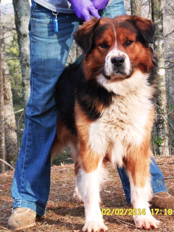 Bernese Mountain Dog Mix Golden Retriever Dog Forums