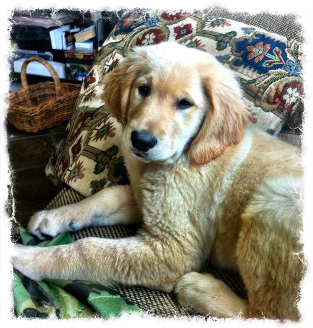 Introduction - Golden Retrievers : Golden Retriever Dog Forums