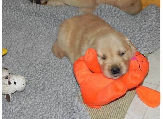 Name:  Beige puppy 7 week 3 and 4.jpg