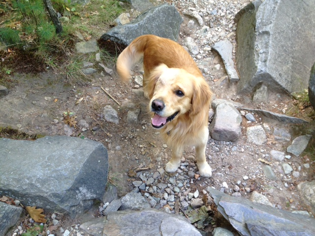 ... Golden Retriever - Page 5 - Golden Retrievers : Golden Retriever Dog