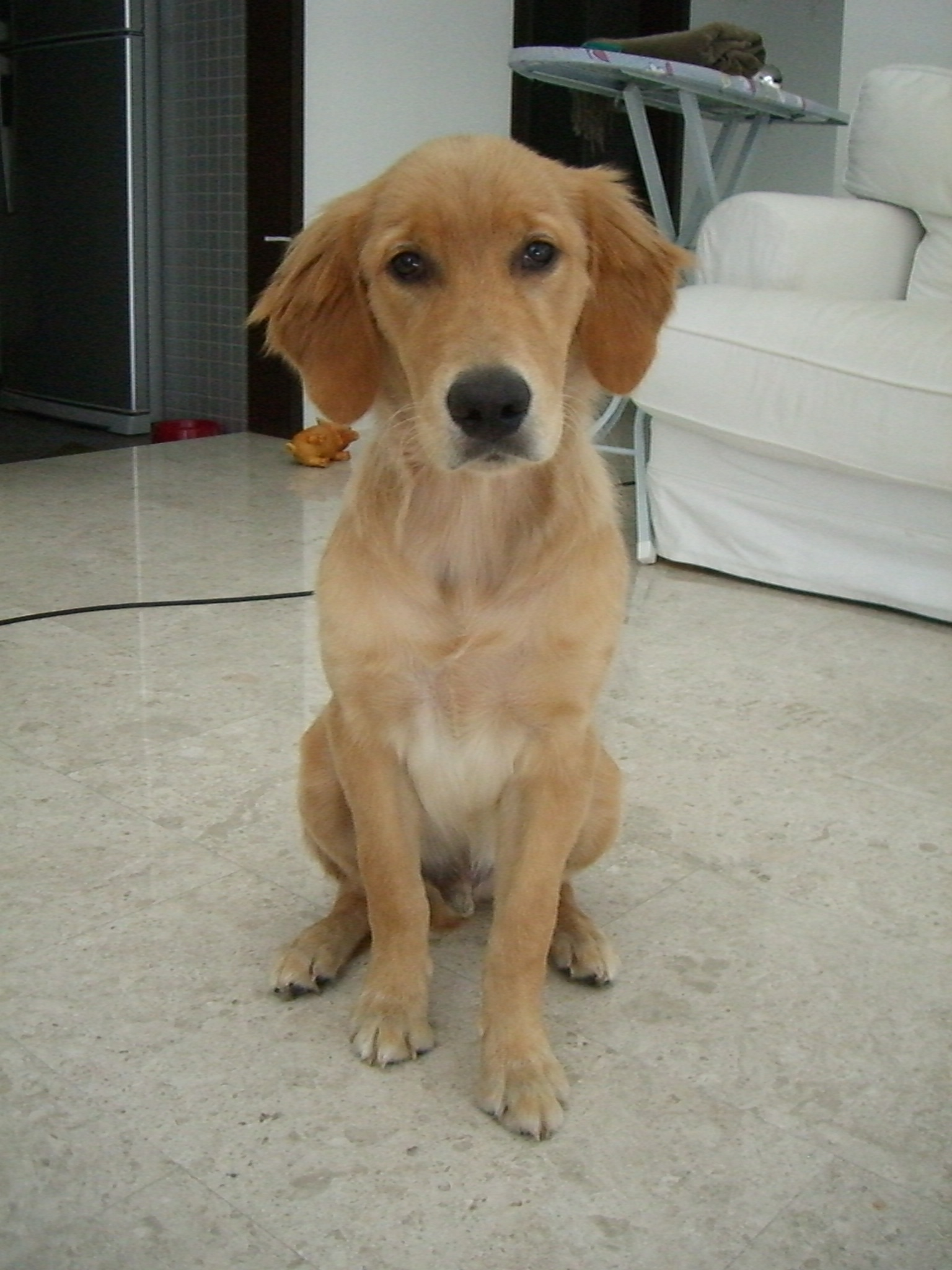 Size and weight of 6 month old puppy - Golden Retrievers : Golden ...