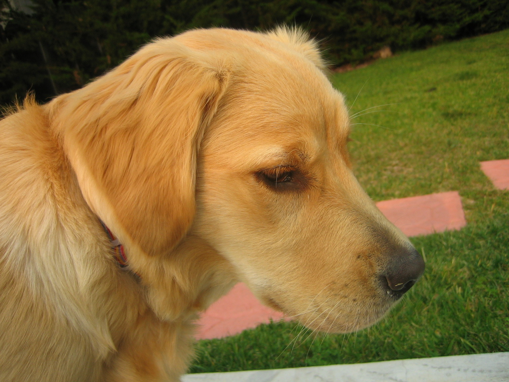 ... Car Hepl!!! - Page 2 - Golden Retrievers : Golden Retriever Dog Forums