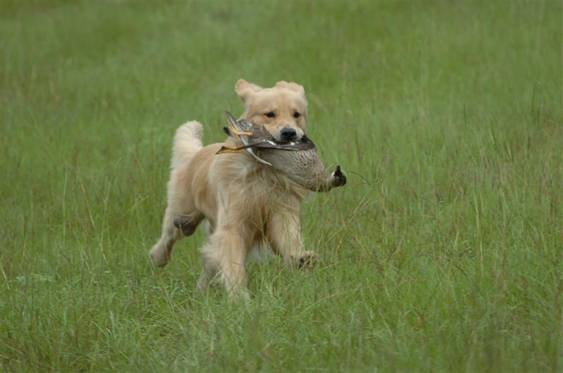 Training a 3 year old - Golden Retrievers : Golden Retriever Dog ...