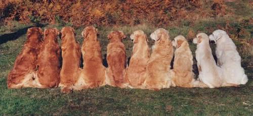 Golden Retriever Coat - Golden Retrievers : Golden Retriever Dog