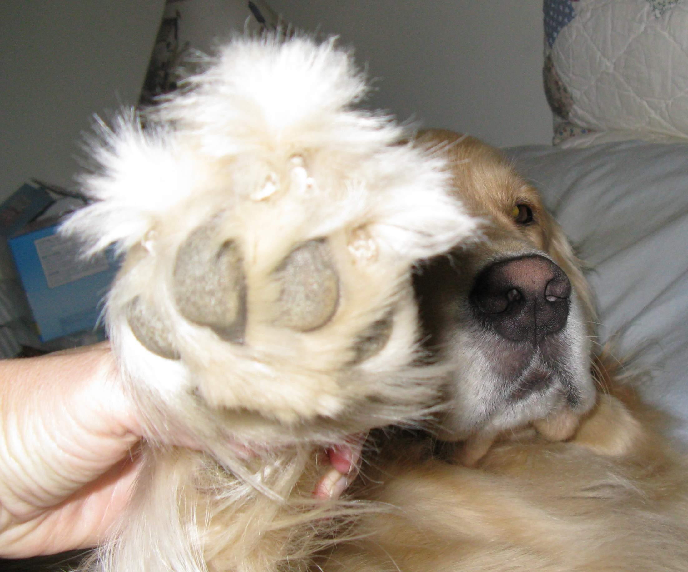 Trimming paw hair? - Golden Retrievers : Golden Retriever Dog Forums