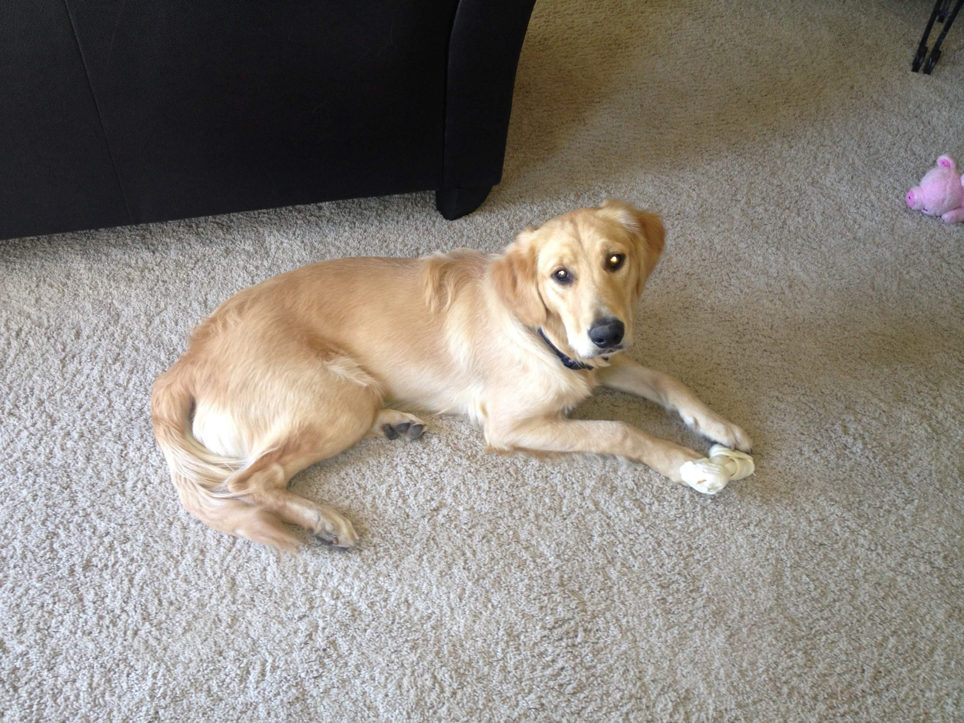 Short Hair Golden Retriever Dog Forums