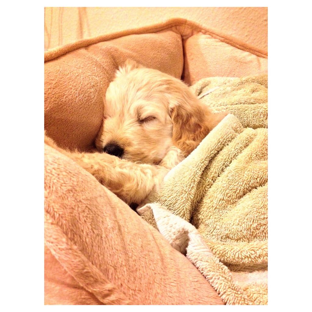 Goldendoodle Golden Retriever Dog Forums