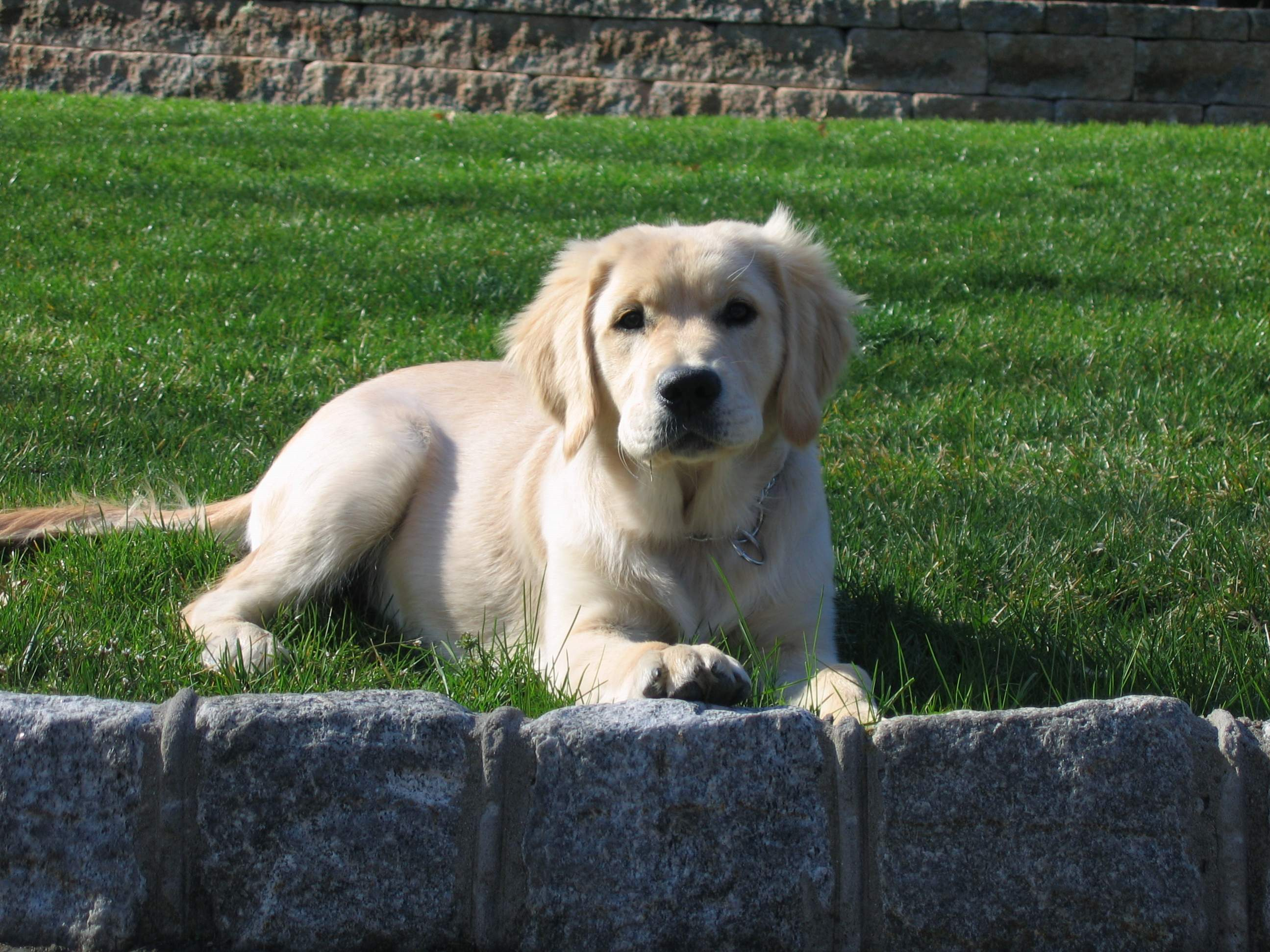 Still Looking For A Breeder In Nj Or Area Golden Retrievers