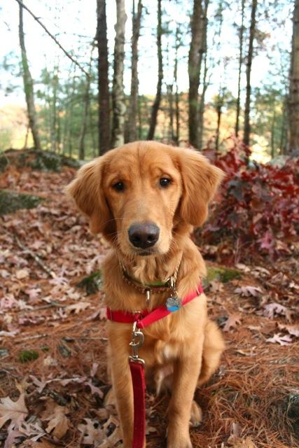 months old today! - Golden Retrievers : Golden Retriever Dog Forums