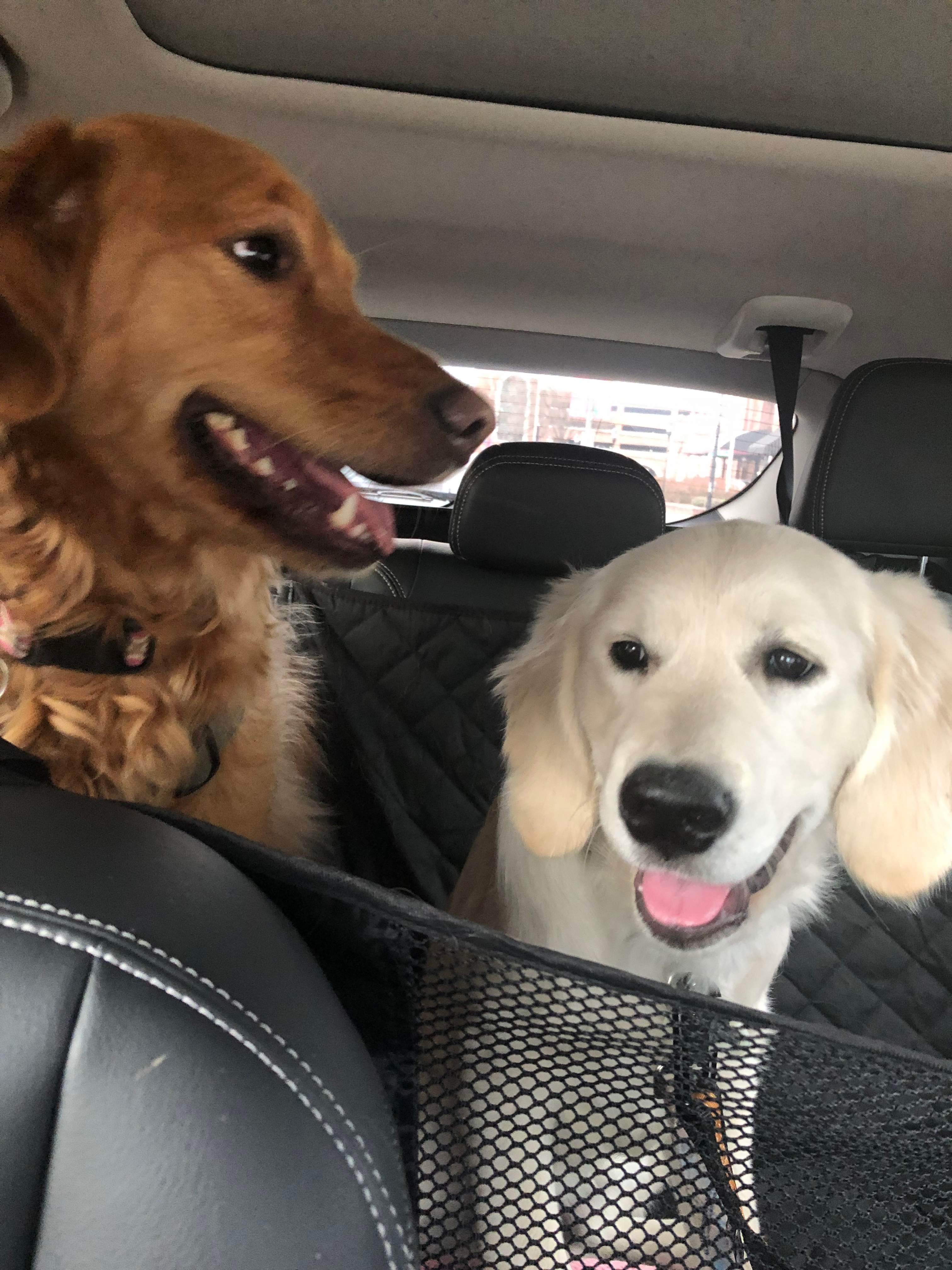 Goldens Born in October 2018 | Page 3 | Golden Retriever Dog Forums