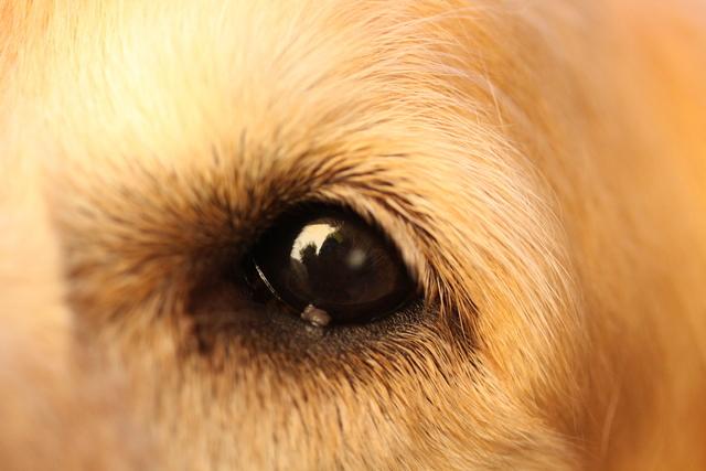 Gray Dot On Eye Golden Retriever Dog Forums