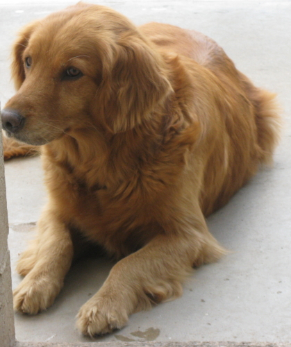 beautiful golden ret male at ohio kill shelter   golden retrievers