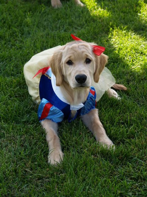 costumes golden retrievers retriever dog forums