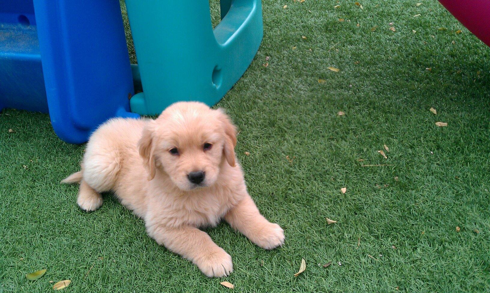 ... is biting my 3 kids! - Golden Retrievers : Golden Retriever Dog Forums