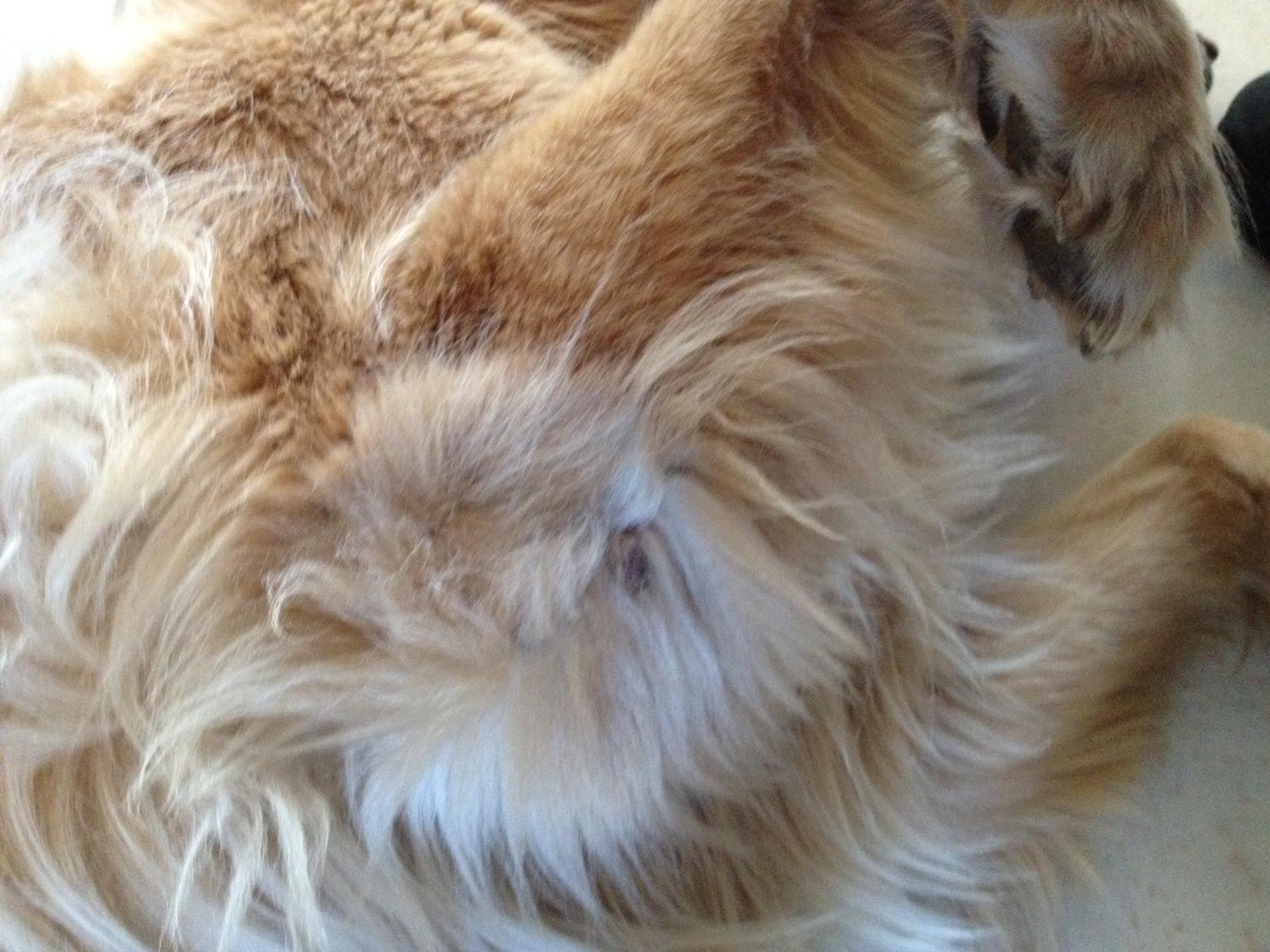 protruding something - Golden Retrievers : Golden Retriever Dog Forums