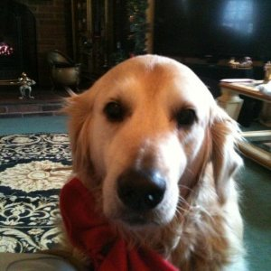 My Beautiful Golden, Jack (named After Jack Dawson From Titanic) On Christmas Last Year.