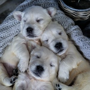 Bostick English Goldens