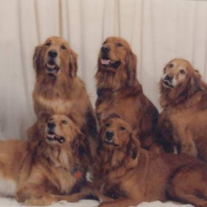 Our goldens from left to right starting in back.... Jake, Tyler, Hawkeye, Brandy and Tess  Very much missed and tenderly kissed