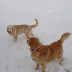 Our Goldens Past And Present