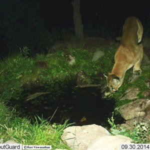 Barranca Mesa Mountain Lion