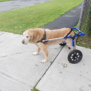 Indiana In His New Wheelchair
